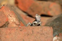 Hagedissen en reptielen in Sri Lanka Royalty-vrije Stock Fotografie