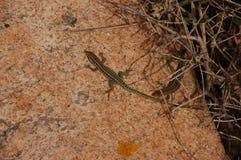 Hagedissen op het graniet a stock foto's