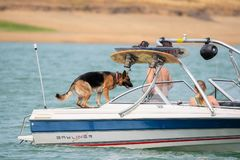 German shepherd dog on the boat stock photo