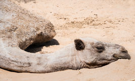 Haggard camel lies on sand. Royalty Free Stock Images