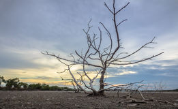 Haggard tree On dry land Royalty Free Stock Images
