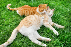 Hagging cats. Hagging red and tawny cats on green grass Stock Image