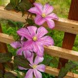 Hagley hybride clematissen in bloei Royalty-vrije Stock Foto