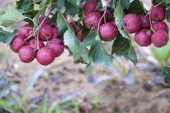 Hagtorn royaltyfri foto