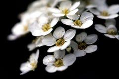 Hagtorn blommar på en svart bakgrund Arkivbild