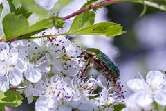 Hagtorn (Crataegusoxyacantha eller Crataeguslaevigata) med blomman och skalbaggar (den Protaetia aeruginosaen) Royaltyfria Foton