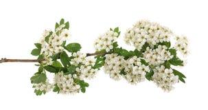 Hagtorn- eller Crataegusmonogynafilial med blommor som isoleras på en vit bakgrund arkivfoton