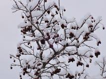 Hagtorn i snö Royaltyfria Foton