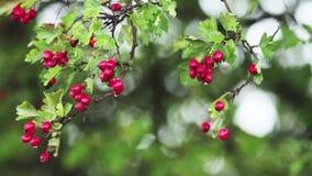 Hagtorn med det röda bäret på filialen, höstregnvatten tappar, ljus bris arkivfilmer