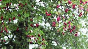 Hagtorn med det röda bäret på filialen, höstregnvatten tappar, ljus bris lager videofilmer