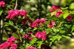Hagtorn Trädgårds- växt Royaltyfria Bilder