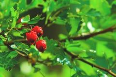 Hagtornbär Fotografering för Bildbyråer