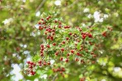 Hagtornbär hänger på filialerna på hösten royaltyfria bilder