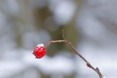 Hagtornbär med snön Arkivbild