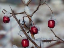 Hagtornbär som täckas med snö Bär av hagtorn på en filialCrataeguslaevigata Arkivbilder