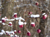 Hagtornbär som täckas med snö Bär av hagtorn på en filialCrataeguslaevigata Royaltyfri Bild