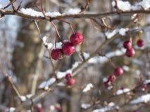 Hagtornbär som täckas med snö Bär av hagtorn på en filialCrataeguslaevigata Royaltyfria Foton