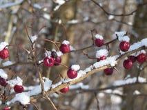 Hagtornbär som täckas med snö Bär av hagtorn på en filialCrataeguslaevigata Royaltyfri Foto