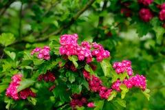 Hagtornblommor trädgårds- sommar Arkivfoto