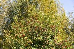 Hagtornbuske i höst Arkivbilder