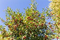 Hagtornbuske med mogna bär Arkivfoton