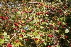 Hagtornfrukter Royaltyfria Foton