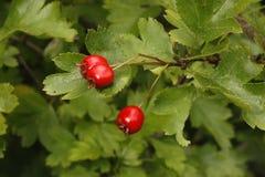Hagtornträd eller buske, Crataegusmonogyna royaltyfria bilder