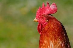 Hahn auf dem Bauernhof Lizenzfreies Stockfoto