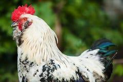 Hahn auf unscharfem grünem Hintergrund Hahnvogel stockbilder