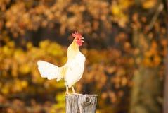 Hahn, der auf einem Fencepost kräht Lizenzfreies Stockfoto