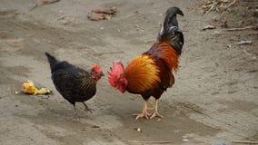 Hahn eine Henne Stockfotos