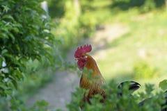 Hahn in einem grünen Garten stockfoto