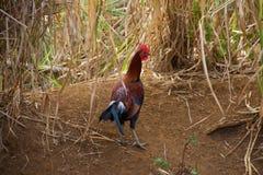 Hahn Kauai Stockfoto