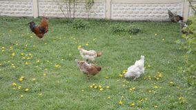 Hahn und eine Henne wählen in der Blumenwiese aus stock video footage