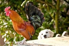 Hahn und goldener Apportierhund Stockfoto