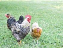 Hahn und Hühner Lizenzfreie Stockfotos