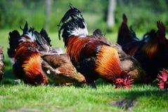 Hahn und Hühner auf traditioneller Freilandgeflügelfarm Stockfotografie