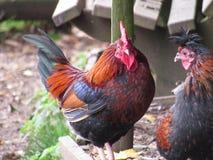 Hahn und Henne lizenzfreies stockfoto
