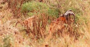 Hahn und Henne, die in trockenes Gras einziehen stock footage