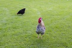 Hahn und Henne im Yard stockfotografie