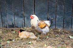 Hahn und Hennen Stockbild