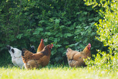 Hahn und Huhn Stockfotografie