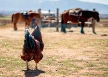 Hahnaufenthalte auf dem Gebiet und Betrachten von Pferden im Bauernhof, Landleben, Dorf stockfotos