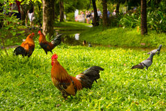 Hahnen und Taube auf dem Yard im Park Lizenzfreie Stockfotos