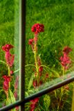Hahnenkamm durch das Fenster Lizenzfreies Stockfoto