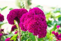 Hahnenkamm, große rosa Blume Lizenzfreies Stockfoto