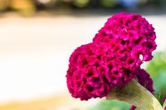 Hahnenkamm, große rosa Blume stockbilder