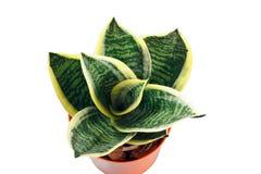 Hahnii trifasciata Sansevieria золотое Стоковое Изображение RF