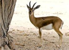 hai Израиль gazelle dorcas штанги Стоковое фото RF