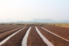 HAI DUONG, VIETNAM, il 18 ottobre: agricoltori che crescente le verdure nella t Immagine Stock